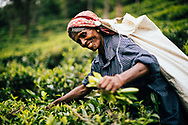 Woman harvest leaves at a tea plantation in the hills of Ella, Sri Lanka, Asia