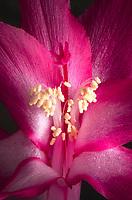 Purple Christmas Cactus( Schlumbergera bridgessii) Blossoms
