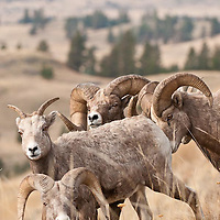 trophy bighorn ram with ewe during rut, bighorn sheep wild rocky mountain big horn sheep