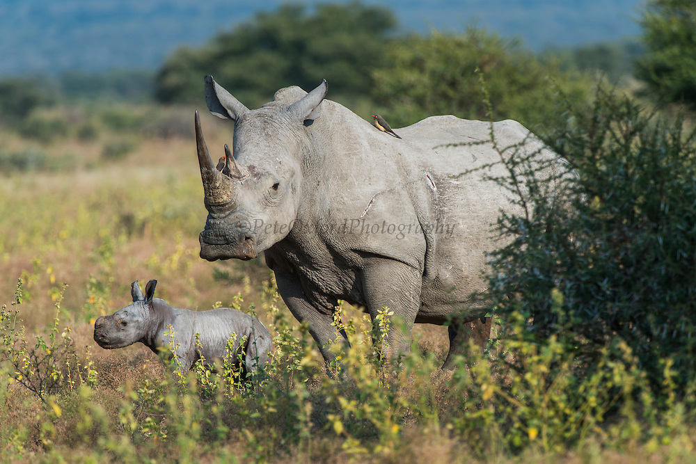 White rhinoceros (Ceratotherium simum) & calf<br /> Marataba, A section of the National Park, <br /> SOUTH AFRICA<br /> RANGE: Southern & East Africa<br /> ENDANGERED SPECIES