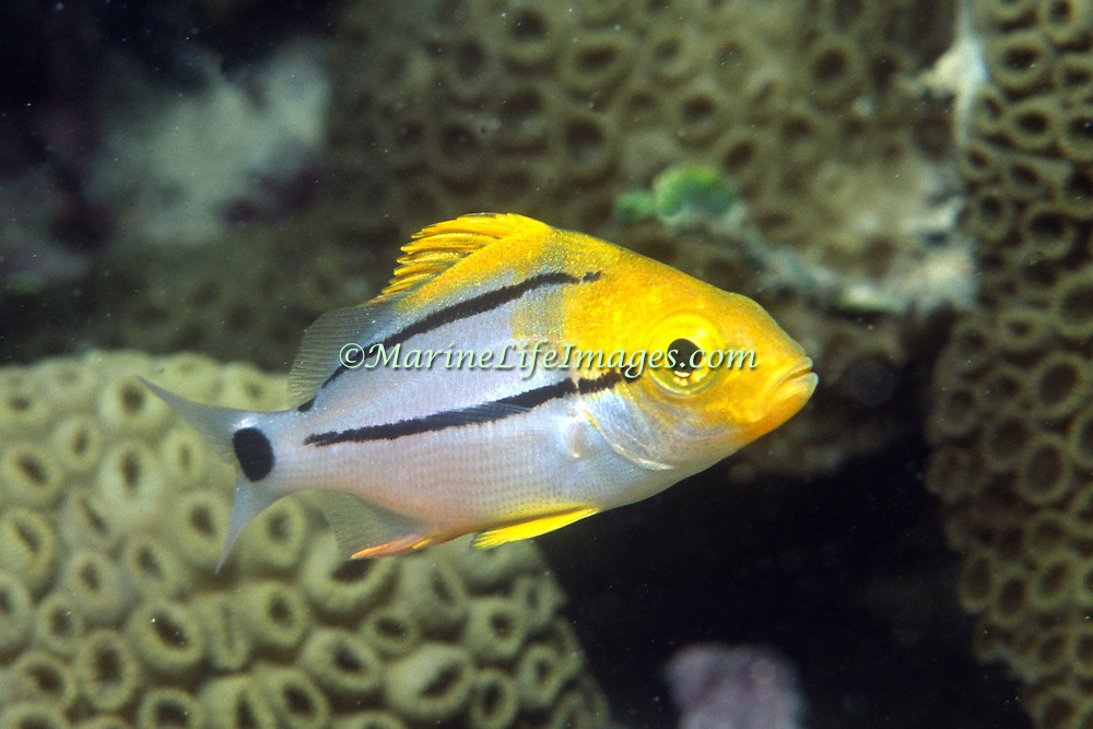 Porkfish, juvenile, inhabit reefs in Tropical West Atlantic; picture taken Hollywood, FL.