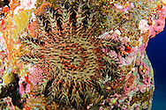 Crown of Thorns starfish, Acanthaster planci, (Linnaeus, 1758), Kona Hawaii