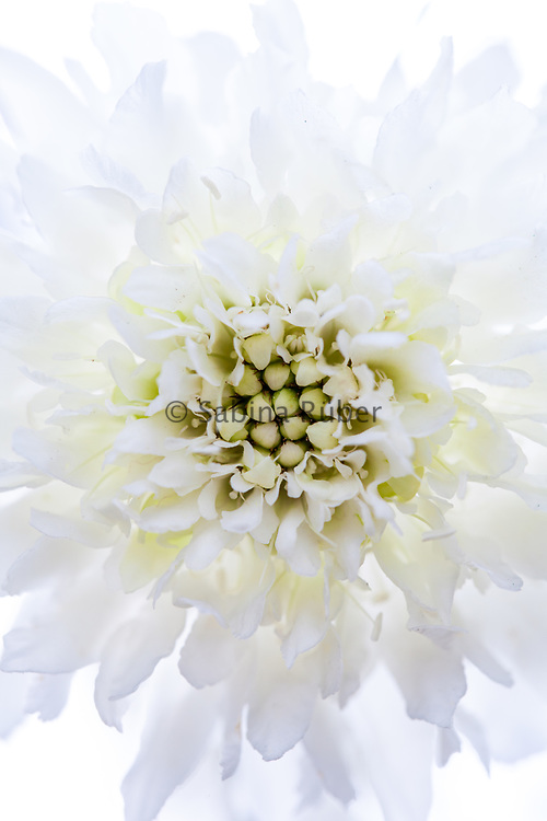 Scabiosa atropurpurea 'Snowmaiden' - sweet scabious