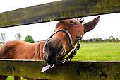Ireland's king, the horse