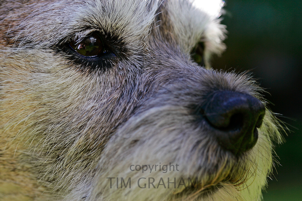 Border Terrier Dog called Jess, England