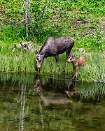 A new spring moose calf takes a look around his new world at the pond. A moment before it was checking his own reflection in the pond.