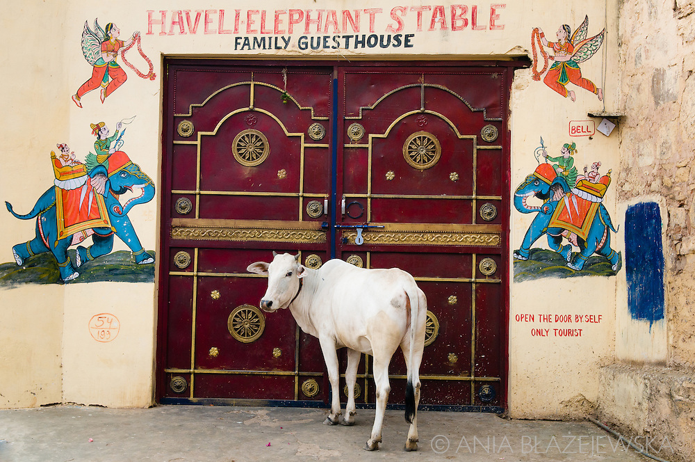 India, Bundi. A cow waiting at the Haveli Elephant Stable gate and waiting to open it.