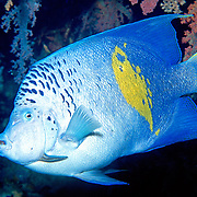 Yellowband Angelfish inhabit reefs. Picture taken Red Sea.