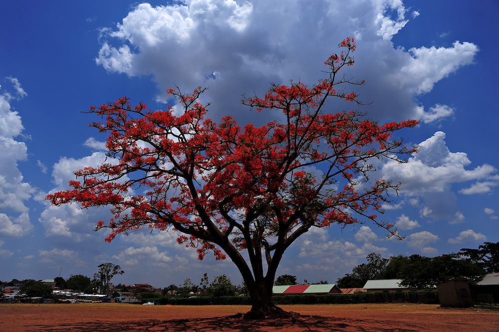 12-03-29   -- LIRA, UGANDA --  A flame tree blooms at the Lango Quran Primary School in Lira on March 29.  The grounds were home to approximately 500 IDP's, of which 200 still remain.   Photo by Daniel Hayduk