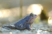 During their mating season the male moor frogs (Rana arvalis) show a distinctive blue coloration. They gather in shallow ponds which quickly warm up in spring.  | Moorfrosch (Rana arvalis), maennlich zur Laichzeit