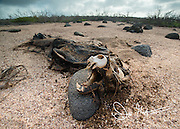Skeletal remains of a Galapagos sea lion on North Seymour island in the Galapagos islands of Ecuador.