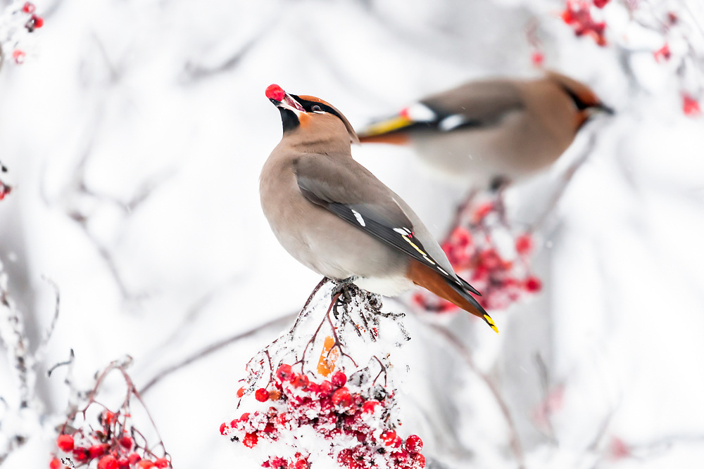 Alaska.  Two adult Bohemian Waxwings (Bombycilla garrulus) feeding on bright red mountain ash berries during their migration through Southcentral Alaska in December.