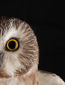 Northern Saw-whet Owl: A Migration Story