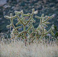 Cholla cactus and other faoilage in the desert foothills of the Sandia mountains, New Mexico, USA.