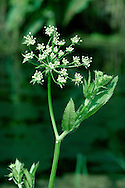 GREATER WATER-PARSNIP Sium latifolium (Apiaceae) Height to 2m. Hairless perennial with hollow, ridged stems. Found in fens on riverbanks. FLOWERS are white and borne in terminal, long-stalked umbels, 6-10cm across (Jul-Aug). FRUITS are egg-shaped and ridged. LEAVES are pinnate with 4-8 pairs of narrow, toothed leaflets plus a terminal one. STATUS-Local, mainly SE England; commonest in E Anglia.