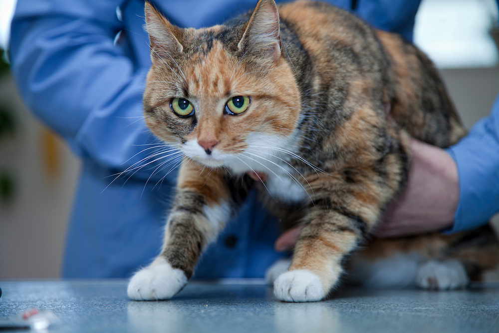 examination cat (Felis Catus) by veterinarian.