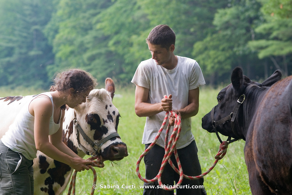 Summer interns prepare to take cows to the barn for milking,  on Moon in the Pond farm in Sheffield, MA
