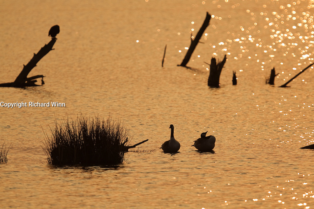 A pair of canada geese in partial silhouette against the reflection of the setting sun on Noah's Lake at Shapwick Heath.