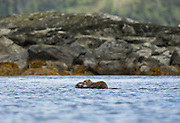 Sea otter mother with pup on chest