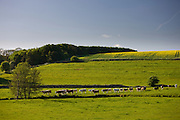 Line of cattle heading for the River Windrush in Swinbrook, The Cotswolds, Oxfordshire, UK