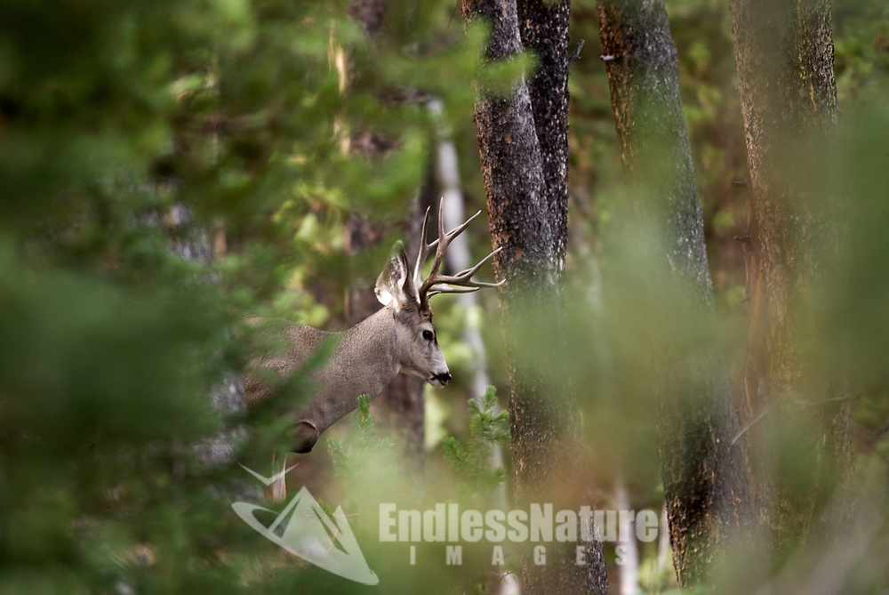 A Mule Deer silently looks over a hillside trail before descending down the hill.