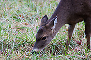 Deer grazes in Cades Cove, Great Smoky Mountains National Park