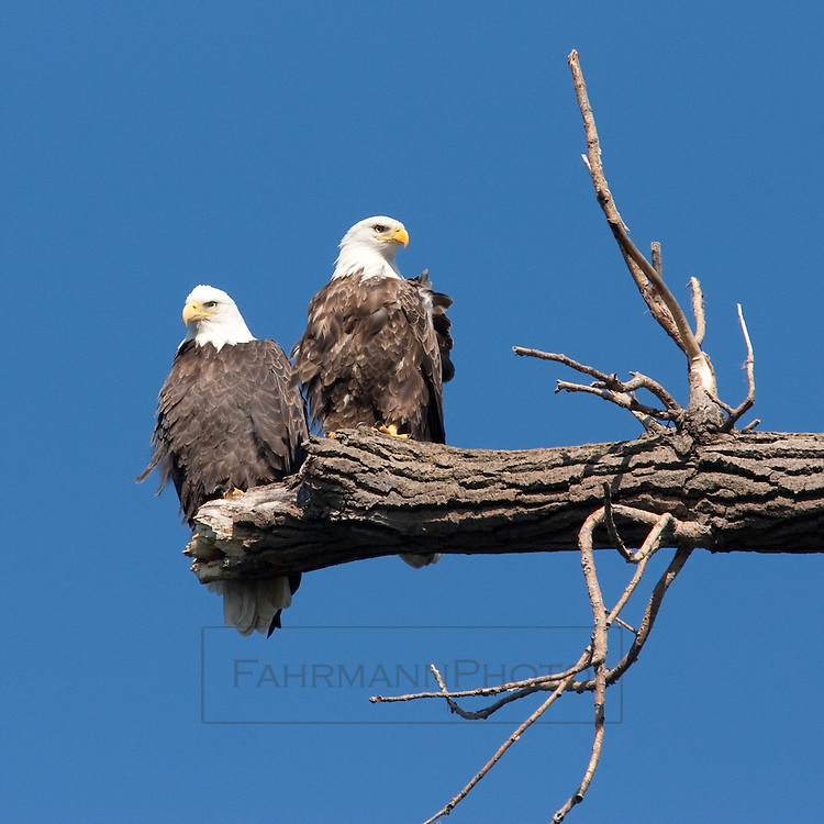 Two Bald Eagles sit together on the branch of a dead tree