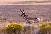 Male pronghorn (Antilocapra americana) on grassland in the hart Mountain National Wildlife refuge, Oregon.