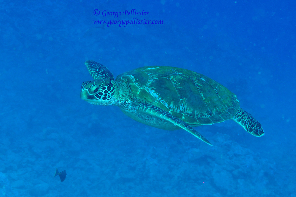 A Sea Turtle in Moorea, French Polynesia