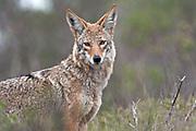 Coyote (Canis latrans) - California