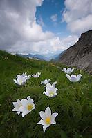 Alpine pasqueflower; Pulsatilla alpina, Augstenberg, Liechtenstein