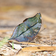 The Autumn Leaf Butterfly, Doleschallia bisaltide continentalis. Seen in Chaloem Phrakiat Thai Prachan National Park.