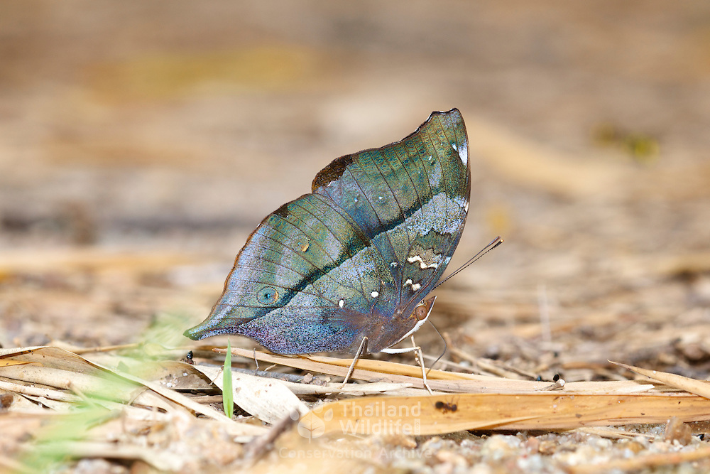 The Autumn Leaf Butterfly, Doleschallia bisaltide continentalis. Seen in Chaloem Phrakiat Thai Prachan National Park.