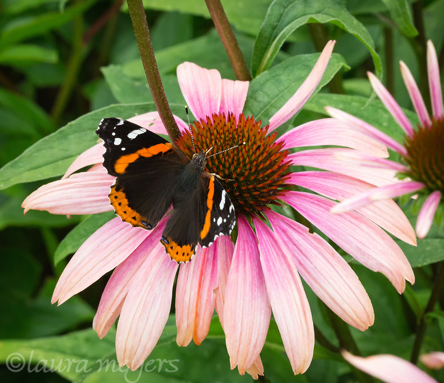 Red Admiral Butterfly (Vanessa atalanta)on flower at Hildene Garden in Manchester, Vermont