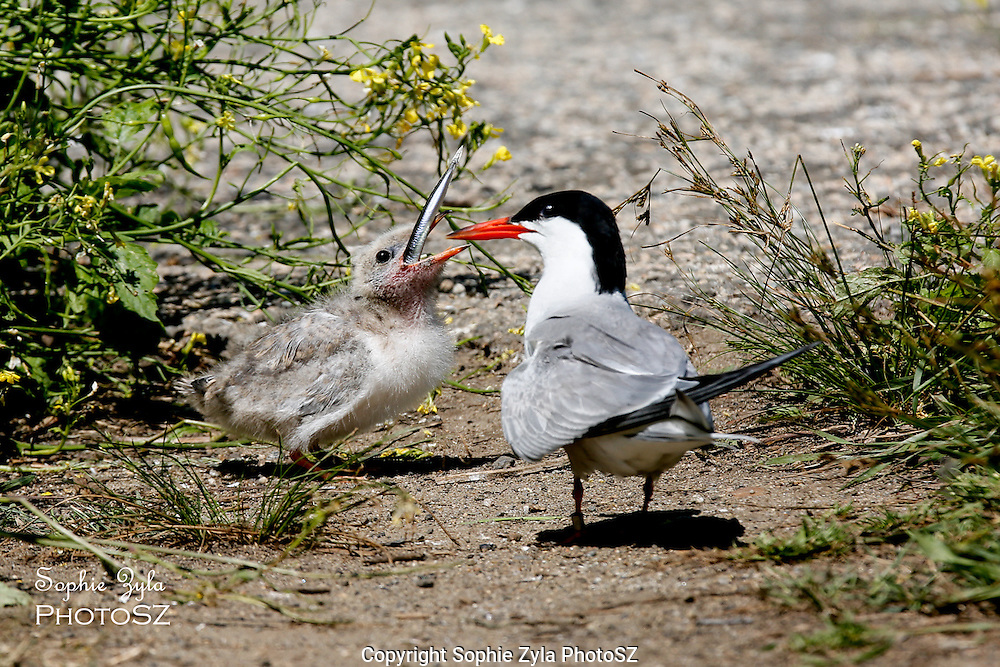 Common Tern Adult feeding chick
