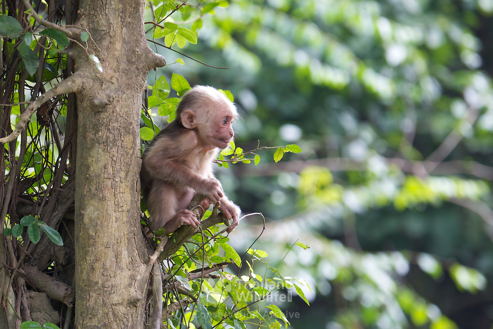 Infant Stump-tailed macaque (Macaca arctoides). Infants are born white and darken with age.