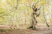 Old beech tree bordering Lady Walk with Thunderdell Wood in the background.