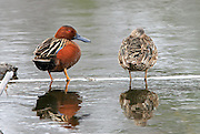 Cinnamon teal pair in breeding plumage