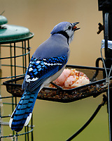 Blue Jay. Image taken with a Fuji X-H1 camera and 200 mm f/2 lens + 1.4x TC