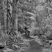 Sweet Creek Falls Canopy Trail - Mapleton, Oregon - HDR - Infrared Black & White