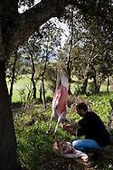 Corsica. France. JP mullaroni shepherd in ortolu valley Corsica south  France   / jean Pierre Mallaroni tuant brebis, berger dans la vallee de l'ortolo  Corse du sud  France