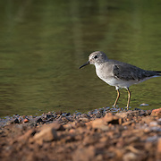 These birds are very small waders, at 13.5–15 cm length. They are similar in size to the little stint (Calidris minuta) but shorter legged and longer winged. The legs are yellow and the outer tail feathers white, in contrast to little stint's dark legs and grey outer tail feathers.