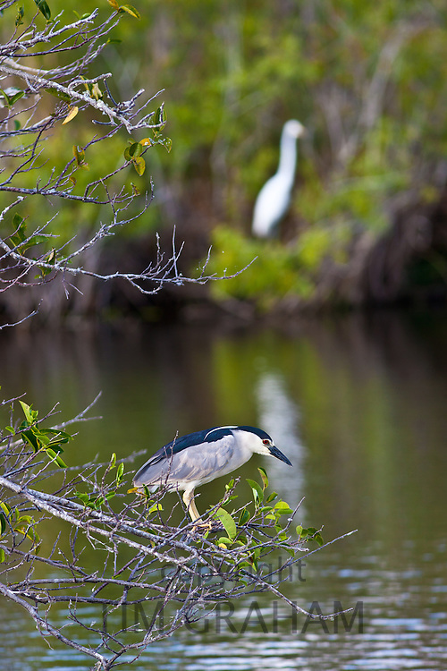 Black-crowned Night Heron, Nycticorax nycticorax, in The Everglades, Florida, USA