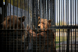 ROMANIA ONESTI 26OCT12 -  Eurasian brown bears in captivity at the Onesti zoo.  ..The zoo has been shut down due to non-adherence with EU regulations on the welfare of animals.......jre/Photo by Jiri Rezac / WSPA......© Jiri Rezac 2012