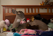 Dilie lays down to sleep on her bed among stuffed animals which she recieved as gifts from fans. The lights stay on because she isn't fond of the dark.