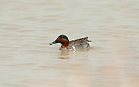 A Green Winged Teal male swims in the muddy waters of a marsh pond in early spring feeding on aquatic plants growing on the bottom of the pond.