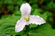 The showy flower of the Trillium caught my eye as I walked through the woods at the Univeristy of Washington's Arboretum.