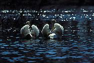 DEU, Germany, mute swan (lat. Cygnus olor)....DEU, Deutschland, Hoeckerschwaene (lat. Cygnus olor)........