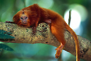 With eyes that are directed forward to allow binocular vision and with impressive claws on all digits, except for the first digit of the hind limbs, the Golden Lion Tamarin (Leontopithecus rosalia) is well equipped for its life in the canopy of the rainforest. | Die nach vorne gerichteten, für dreidimensionales Sehen geeigneten Augen und die starken Krallen an allen Fingern und Zehen, mit Ausnahme des ersten Zehs der Hinterextremitäten, sind für die Löwenäffchen (Leontopithecus rosalia) der Schlüssel zum Leben im Geäst des Urwaldes.