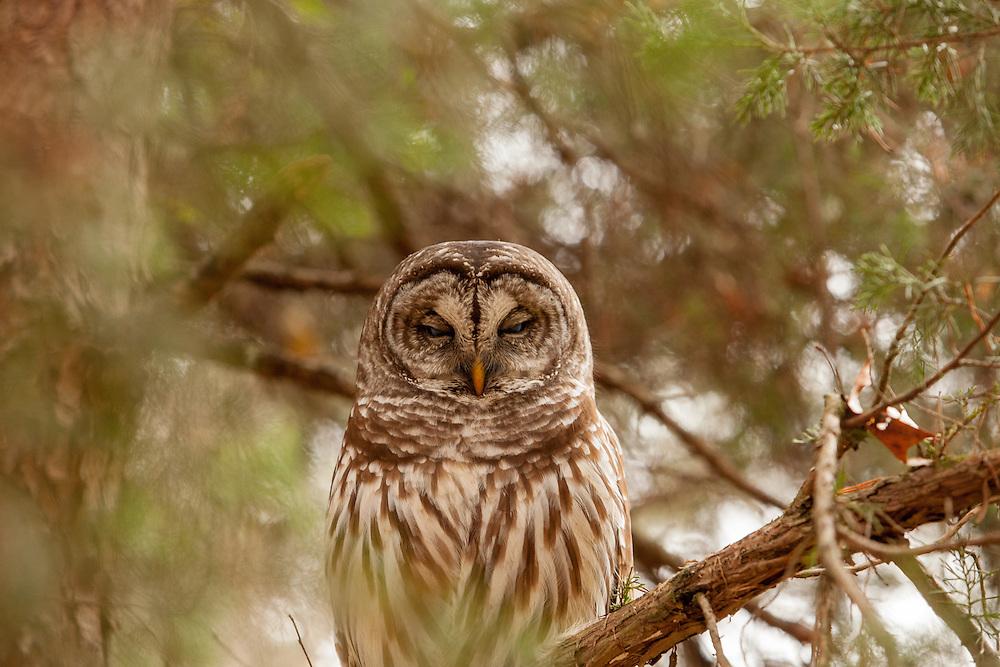 Virginia Barred Owl